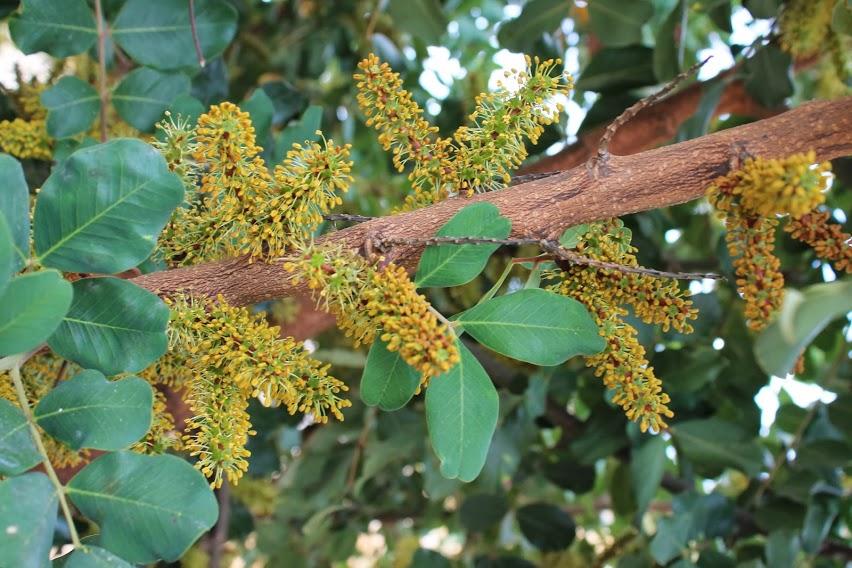 Kukkiva johanneksenleipäpuu