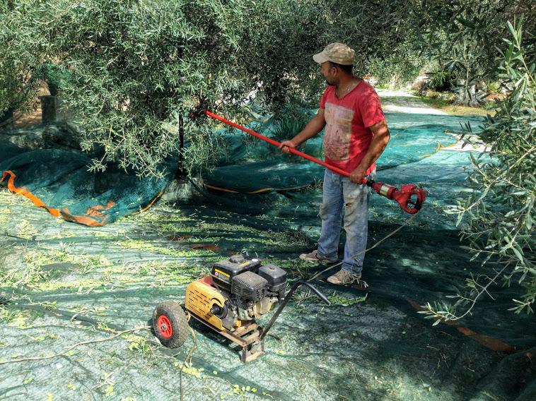 Oliivinkorjuu Kreetalla